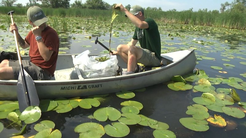 """Lakeview Auto Sales >> State Workers, Volunteers, Fight Invasive """"Water Chestnuts"""""""